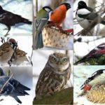 Зимующие птицы Климовского края